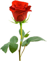 அறவொளி கவிதைகள் -எரிமலை வாய்கள் Rose