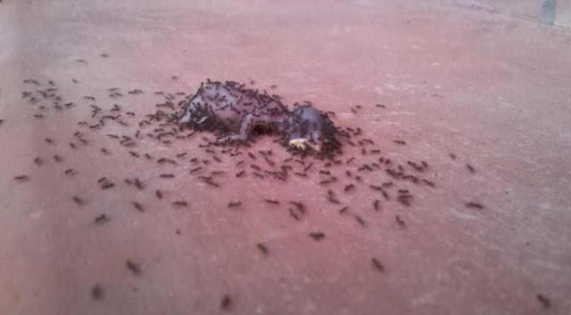 شاهدو الصورماذا فعل النمل بهذه الجثه للفرخ الصغير %D8%B7%C2%AF3