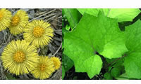 15 Plants and Herbs That Can Boost Lung Health, Heal Respiratory Infections And Even Repair Pulmonary Damage Coltsfoot-2