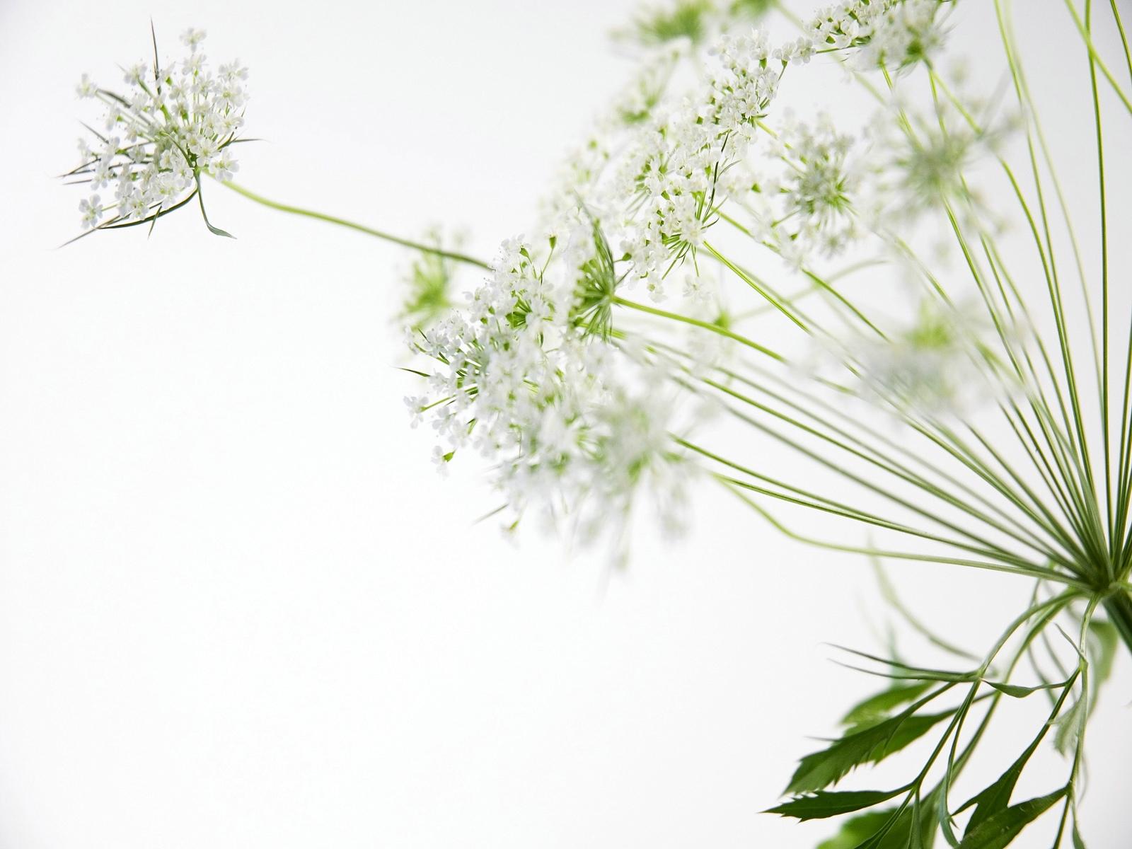 வால்பேப்பர்கள் ( flowers wallpapers ) 01 - Page 4 Nice_white_flowers_1600x1200-wallpaper