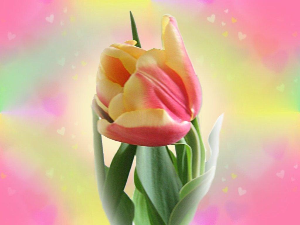 வால்பேப்பர்கள் ( flowers wallpapers ) - Page 4 Tulip_wallpaper_1024