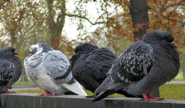 Studimi, zogjtë njohin zërat dhe fytyrat WinterPigeons02