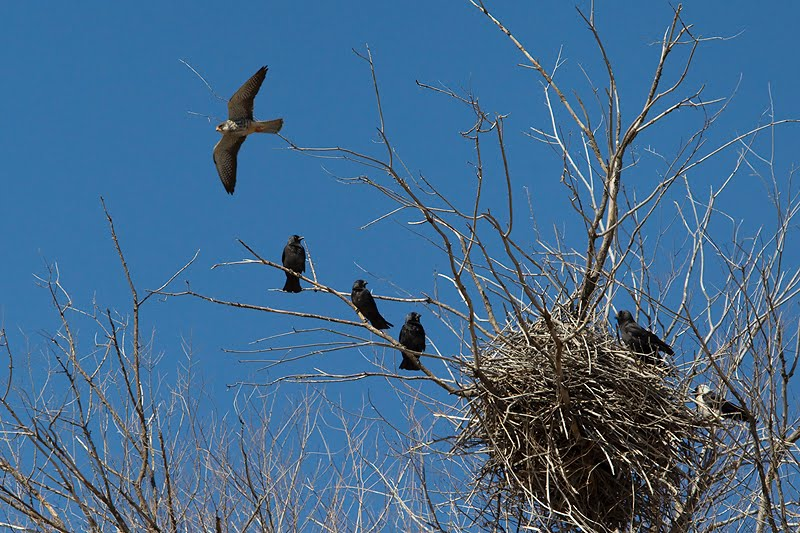 Falconiformes. sub Falconidae - sub fam Falconinae - gênero Falco Exodus%2Bof%2Bthe%2BDaurian%2BJackdaw