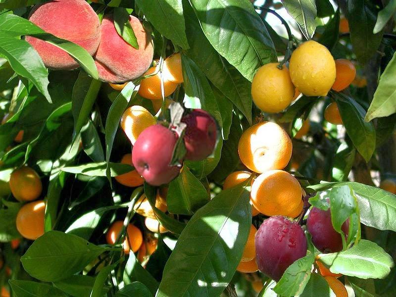 Arbre Martine 24/06/2018 trouvé par Ajonc Photoshopped-fruit-salad-tree