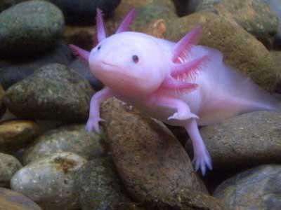 السمكة التي تمشي  لها أرجل و أيدي Fish-with-hands2