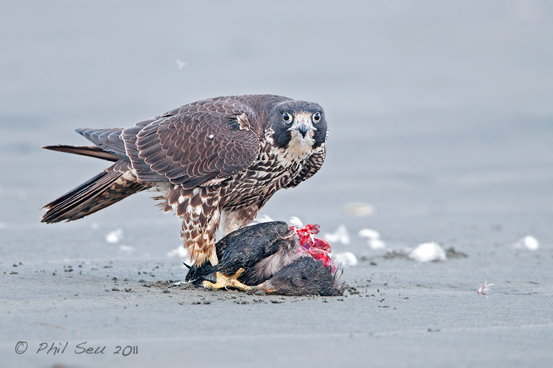 Falconiformes. sub Falconidae - sub fam Falconinae - gênero Falco - Página 2 Photo-of-a-Peregrine-Falcon-feeding-on-a-shorebird