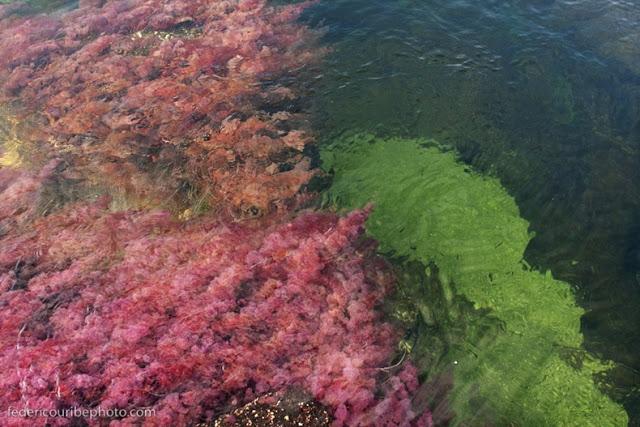 أجمل أنهار العالم Cano-cristales-5%255B2%255D