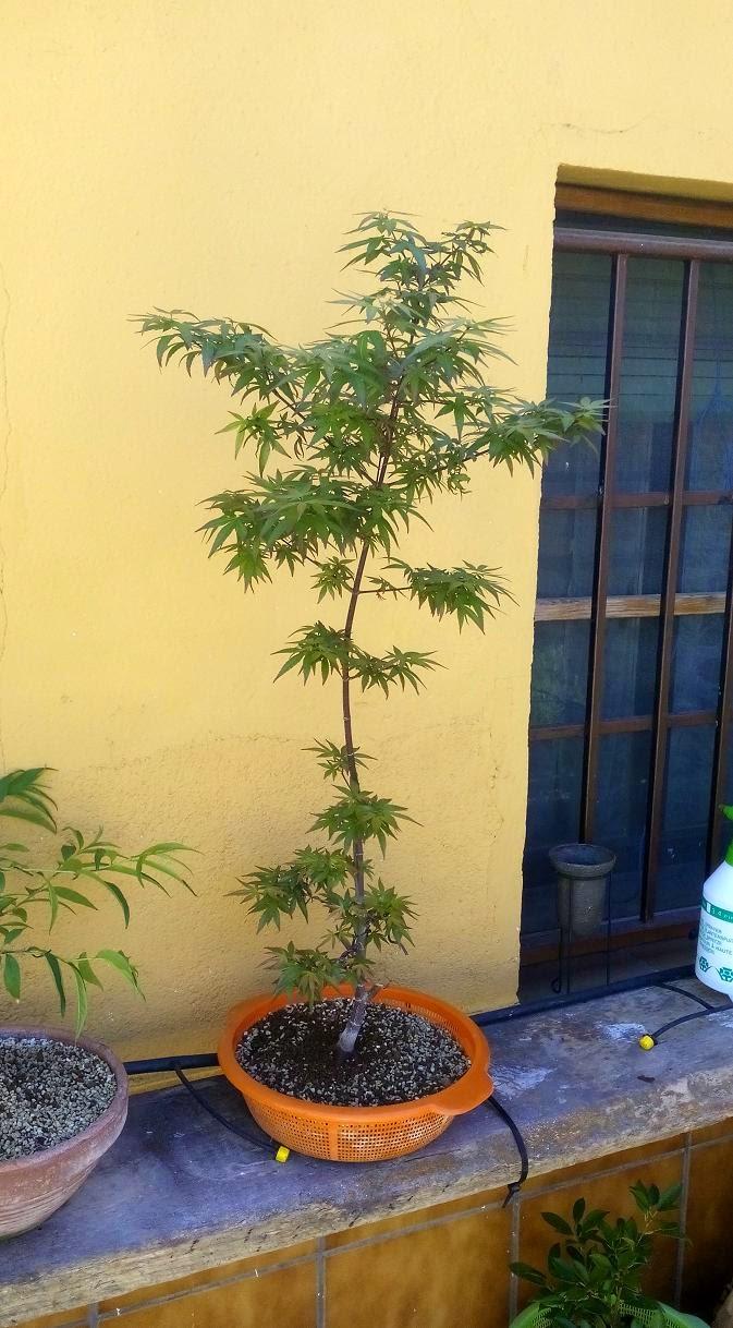 Acer Palmatum Redwine IMG_20150420_132553