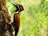 அட அப்படியா...?-படங்களுடன் Black-Rumped-Flameback-Woodpecker