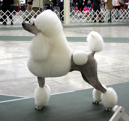 Enzo, le plus beau des frisés - Page 6 Poodle-show