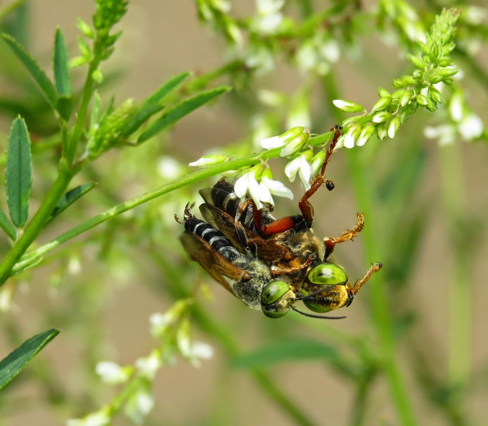 Bộ sưu tập côn trùng 2 TachytesPairCO3a