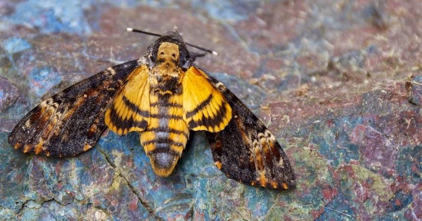 Les papillons - Maurice Rollinat _1180607a