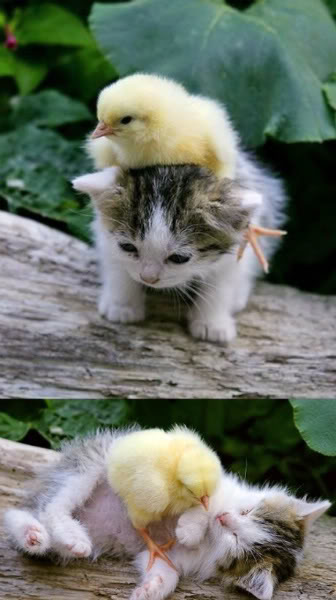 Cute Pics and other adorable things.  - Page 6 Kittyandducking