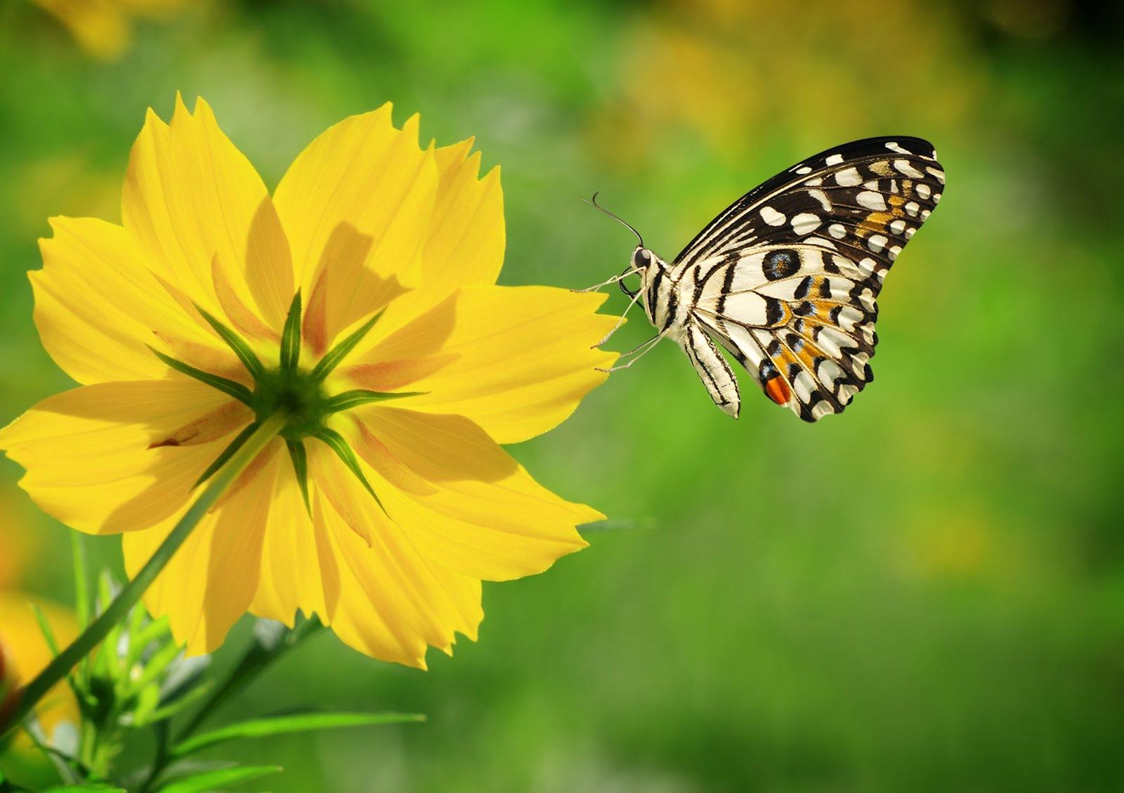 Bienvenidos al nuevo foro de apoyo a Noe #216 / 24.01.15 ~ 26.01.15 - Página 3 Mariposa-sobre-una-linda-flor-silvestre-de-color-amarilla-butterfly