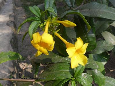 VƯỜN CÂY ĐV II - Page 25 Ghonta%2Bful%2Ballamanda%2Bneriifolia