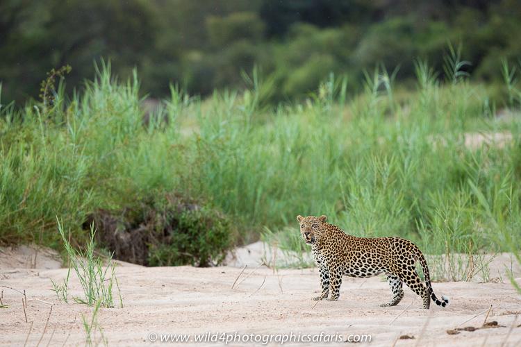 Jaguar venezuelano VS Leopardo macho monstro _N4A3260