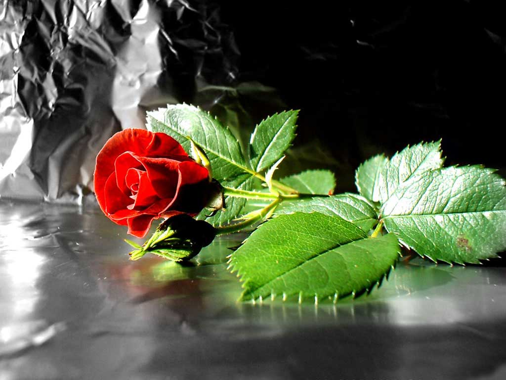**مساؤكم ورد *** 1286199505red-rose-flower-desktop-computer-wallpaper