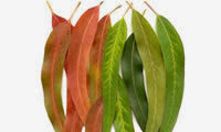 15 Plants and Herbs That Can Boost Lung Health, Heal Respiratory Infections And Even Repair Pulmonary Damage Eucalyp-9