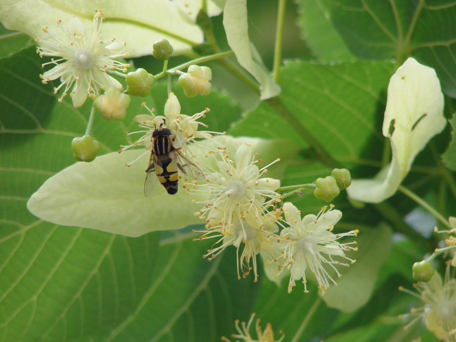 une fleur - blucat-  8 août trouvée par martine DSC01530