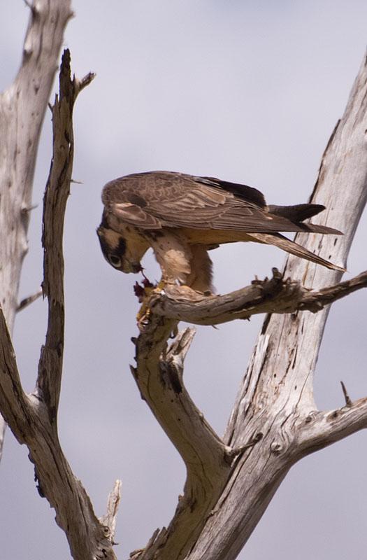 Falconiformes. sub Falconidae - sub fam Falconinae - gênero Falco Hmk33987