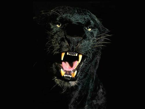 Lo bello de lo salvaje Jaguar_negro