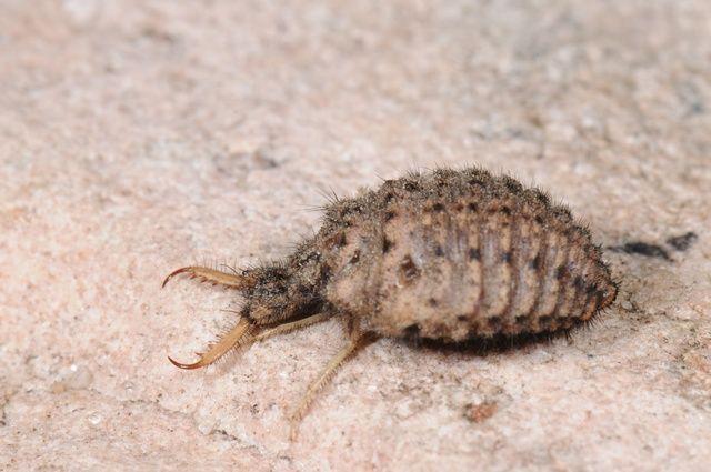Bộ sưu tập côn trùng 2 - Page 26 Myrmeleon_formicarius_larva