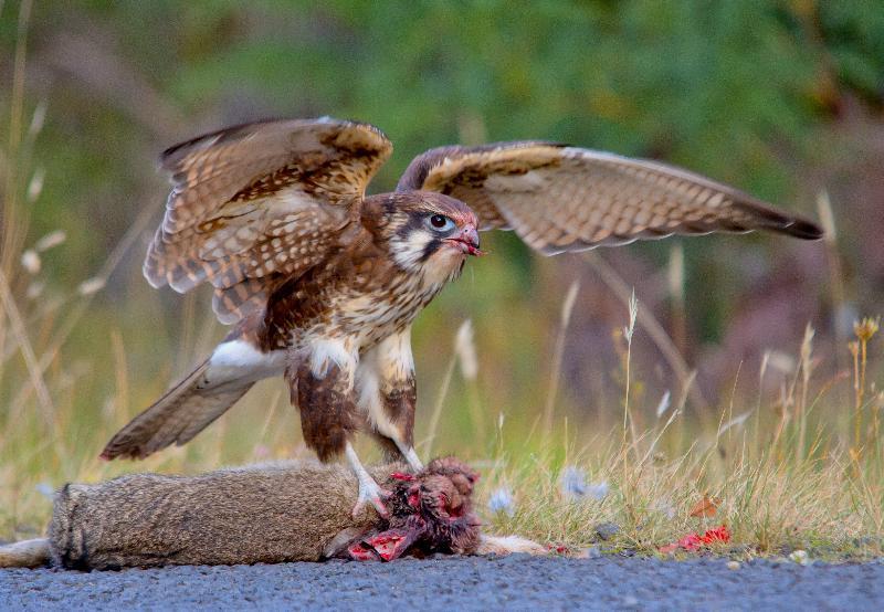 Falconiformes. sub Falconidae - sub fam Falconinae - gênero Falco _MG_5691%2B%2528Medium%2529