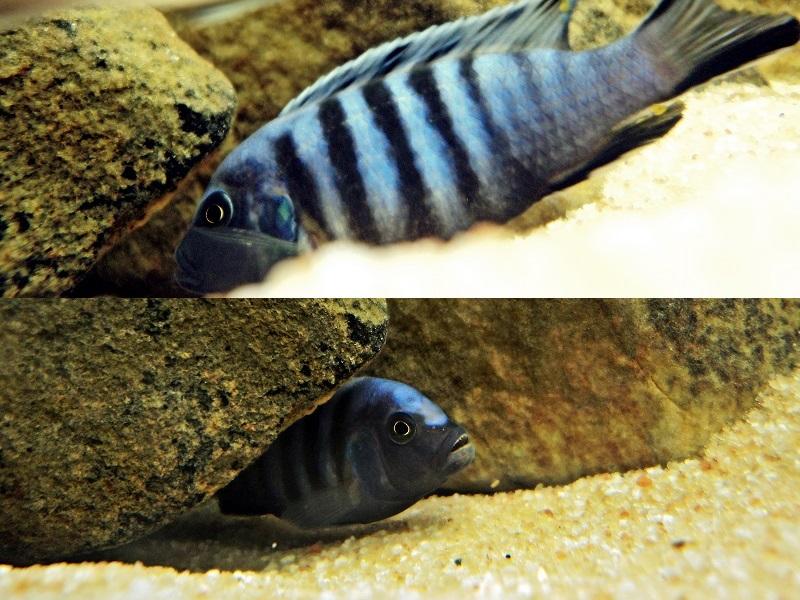 Colaborem: Fotos de Peixes e Plantas Aquáticas - Página 2 01