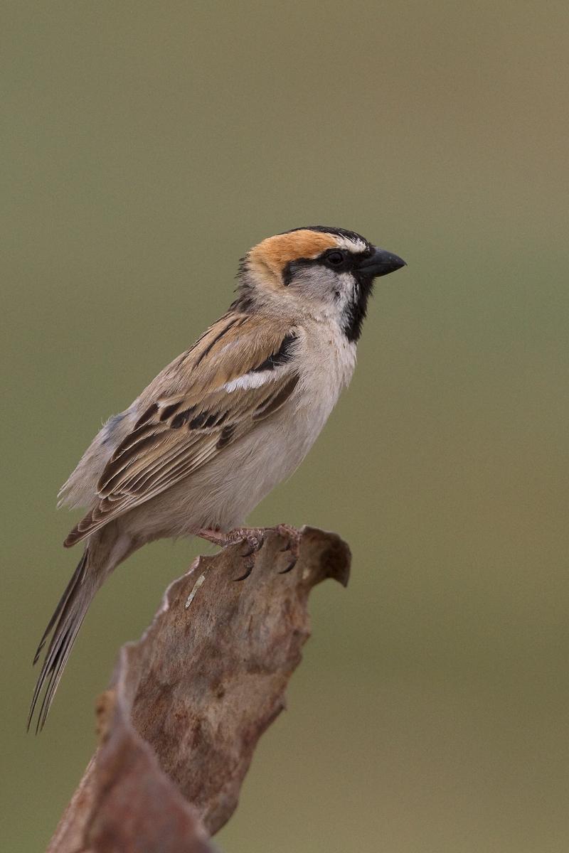 Pardais do mundo Saxaul-sparrow-male