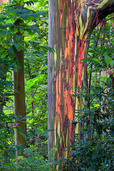 Un árbol con un tronco de lo mas peculiar ♥♥♥ Una pasada Eucalyptusdeglupta1