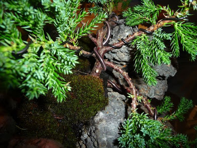 Bonsai sobre roca P1070356