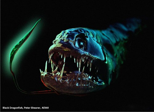 Podvodni cudesni svet - Page 2 A60_Dragonfish
