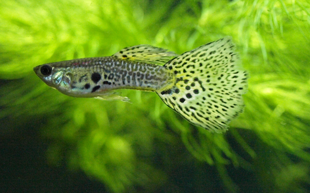 Intercambio De Guppys Male_leopard_spot_guppy_by_gradge