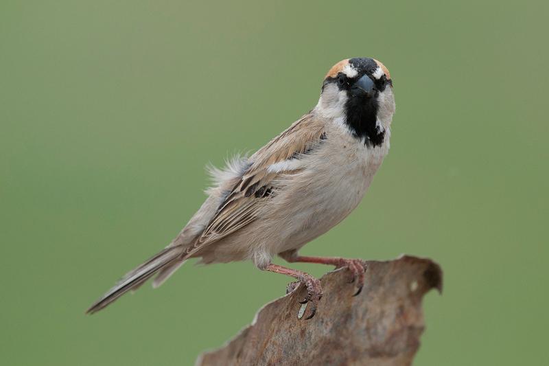 Pardais do mundo Saxaul-sparrow-male-thom