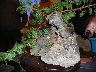 Bonsai sobre roca P1070360