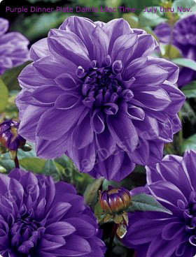 BUSQUEMOS HERMOSAS FLORES - Página 4 PurpleDahlia