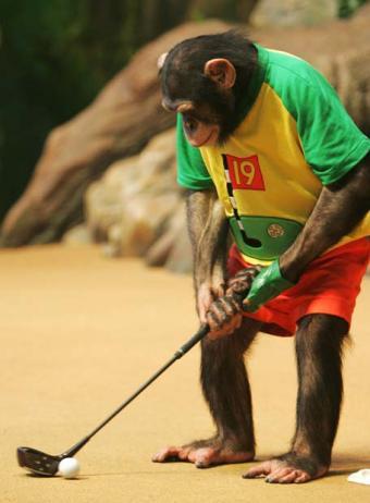 Independencia Catalana - Página 3 Chimpance-golfista