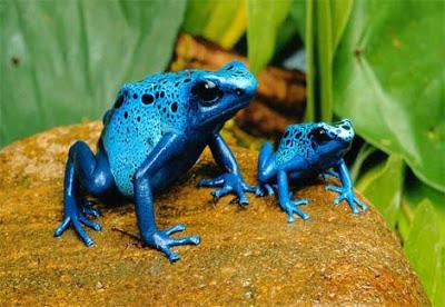 بعض انواع الضفادع الســـــــــــامة Blue-poison-dart-frog-two