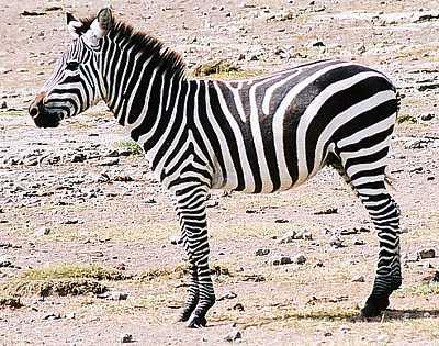 Animalele noastre Zebra