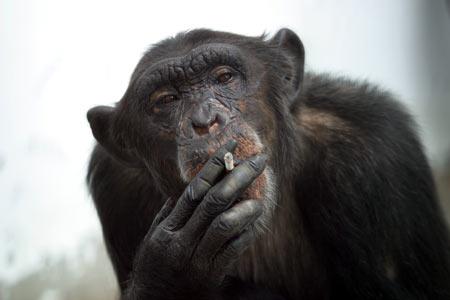 Mojo Bison and Black Panther Monkey_smoking