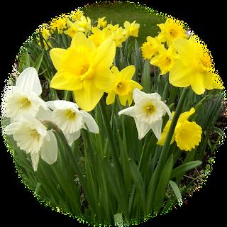 Osterglocken als Hintergrund - so schön! Vertippseltdaffodil20090414001
