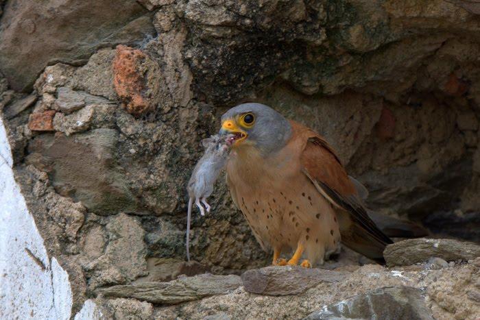 Falconiformes. sub Falconidae - sub fam Falconinae - gênero Falco - Página 2 ACA_1888