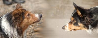 collie - chiots border collie nés le 17 mars Be