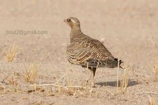 طائر القطا في ولاية النعامة بالجزائر 124