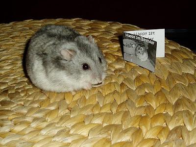 Hrčci - hrčak Hamster-birthday