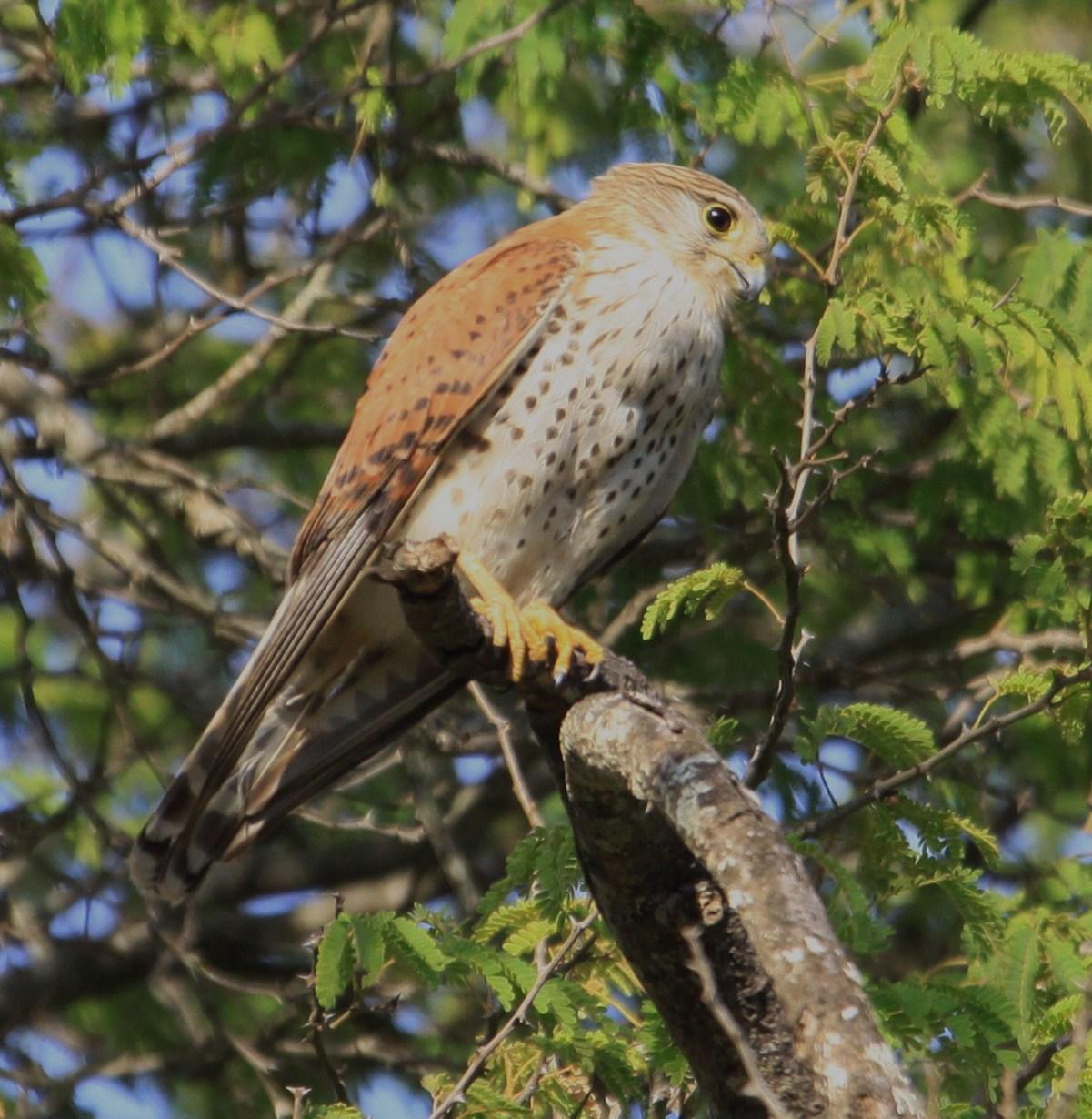 Falconiformes. sub Falconidae - sub fam Falconinae - gênero Falco - Página 2 IMG_8897