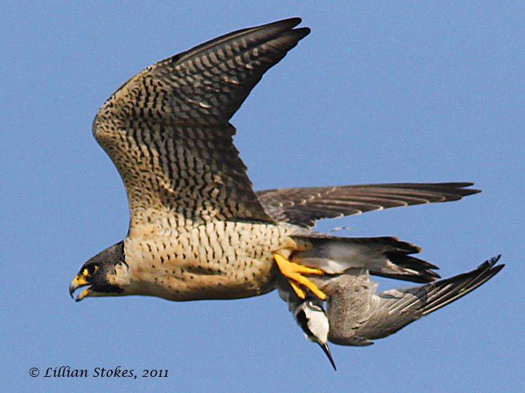 Falconiformes. sub Falconidae - sub fam Falconinae - gênero Falco - Página 2 Peregrine%252C%2Btern%25C2%25A9LillianStokes