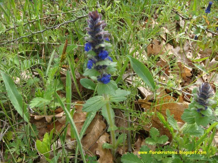 Εικόνες Φυτών... Ajuga_genevensis