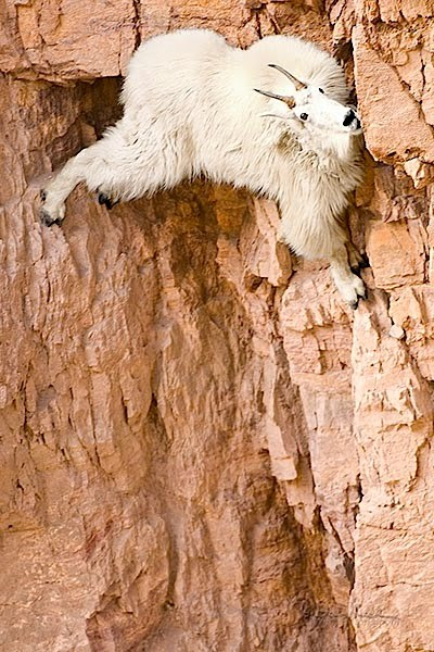 PONGA LO QUE USTED QUIERA Mountain_goat