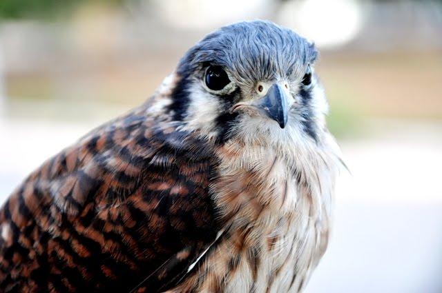Falconiformes. sub Falconidae - sub fam Falconinae - gênero Falco - Página 3 DSC_1164